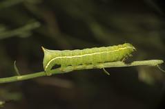 Oruga (anarodsua) Tags: mariposa gusano larva oruga