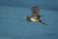 Garza tricolor, Tricolored heron, Egretta tricolor (Andres Puiggros) Tags: garzatricolor tricoloredheron egrettatricolor garza egret heron tricolor arica humedal lluta