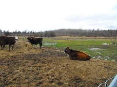 DSCF9474 (Primespot Photography) Tags: canada cow bc britishcolumbia bull jersey steer dexter herford calf holstein fraservalley lowermainland heifer dextercross miniherford
