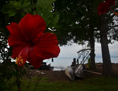 hibiscus and boat in Alotau (yumievriwan) Tags: red flower water bay boat canoe hibiscus png alotau