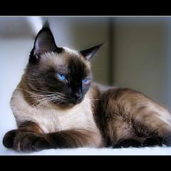 cat siamese misstruffles happywhiskerwednesday picmonkey