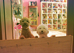 can mochii stay a day longer ?? (girl enchanted) Tags: white love ikea poodles puppies shelf bestfriend brats bff toypoodle toyroom pinkroom besties whitepoodle expedit poodlepuppy dollroom redpoodle dollyroom
