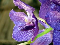 o r c h i d ( Graa Vargas ) Tags: orchid flower purple explore orqudea 487 graavargas falenpsis phalaenopsisxhybridus 2008graavargasallrightsreserved 166130512
