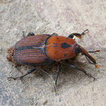 Red palm weevil 3 thumbnail