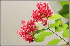 "2091 rangoon creeper -""Explored"" on 2nd Ap 2012 (chandrasekaran a 34 lakhs views Thanks to all) Tags: flowers india nature canon creeper chennai rangoon 60d rangoonmalli"
