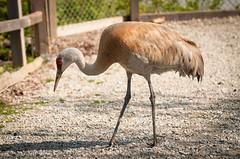 Sandhill crane (michellerlee) Tags: canada vancouver bc delta sandhillcrane migratorybirds georgecreifelbirdsanctuary