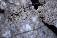 IMGP6916 (Amad) Tags: flower japan spring   sakura kiryu