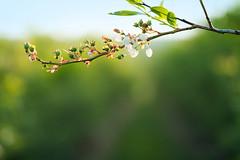 Blueberries in progress (Nancy Rose) Tags: blur green branch dof bokeh blossoms fresh backlit shallow sunlit f28 blueberries freshness unripe 100macro cultivated highbush blinkagain