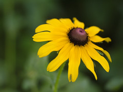_1140569 (Old Lenses New Camera) Tags: flowers plants garden cine panasonic telephoto g1 f25 blackeyedsusan wollensak raptar 63mm 212inch