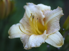 _1140555 (Old Lenses New Camera) Tags: flowers plants garden cine panasonic telephoto daylily g1 f25 wollensak raptar 63mm 212inch