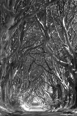 The Dark Hedges, Antrim (Neville Gawley) Tags: trees ireland blackandwhite beach dark hedge lane antrim gracehill