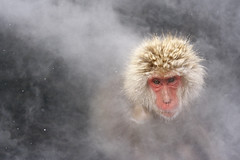 Snow Monkey, Soothing Hot Springs Spa [Explored] ({CP}) Tags: japanese onsen hotspring macaque naganoprefecture snowmonkey snowfalls  jigokudanimonkeyparkjapan shimotakaidistrict6845