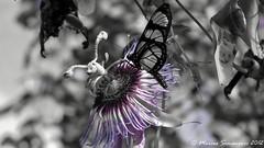 De Marcos para Vanessa (Marcos Simanovic) Tags: vanessa flores cores filippo borboletas orvalho simanovic