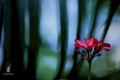 "Rokto Korobi Flower (HamimCHOWDHURY  [Read my profile before you fol) Tags: life pink blue red portrait white black green nature yellow canon eos colorful purple faces sony gray magenta violet surreal ash dhaka dslr vaio rgb bangladesh 60d ""framebangladesh"" ""incrediblebengal"" gettyimagesbangladeshq2012 01611595036"