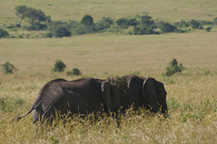 Elefants Mara (faltimiras) Tags: africa elephant tanzania kenya mara np elefant elefante