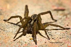 Spider Stare Contest (Terry Demczuk) Tags: brown macro canon eos spider eyes ojos araña marron t2i terrydemczuk canon100mmmacro28f