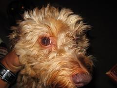 dog chien pet frank canine dachshund perro hund wienerdog dackel teckel k9 doxie sausagedog aplaceforportraits pointyfaceddog