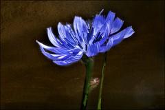 ~~Bleu~~ (Joélisa) Tags: blue flower fleur nikon bleu explore fiordaliso fiora flres chicorée chicoréesauvage takenwithlove croquenature bestofblinkwinners juillet2012 1j1t