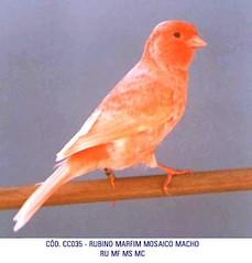 "CC035-RUBINO_MARFIM_MOSAICO_MACHO • <a style=""font-size:0.8em;"" href=""http://www.flickr.com/photos/84013283@N04/7743228690/"" target=""_blank"">View on Flickr</a>"