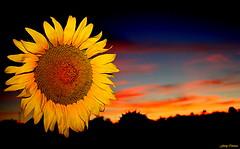 Quisiera ser girasol... (Ferny Carreras) Tags: sunset sky españa sun flower sol field yellow clouds atardecer flor august agosto amarillo cielo nubes sunflower campo girasol cuenca martes nwn olétusfotos