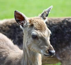 Yes I do have lovely long eyelashes (Al JC) Tags: nature scotland fife deer