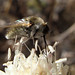 Bombílidos * Beeflies
