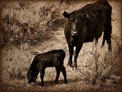 new born (Wendybelle) Tags: baby texture sepia cow cattle calf range