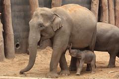 It's a boy !! (K.Verhulst) Tags: elephants nl kyan amersfoort olifant olifanten amersfoortzoo dierenparkamersfoort aziatischeolifant asiaticelephants