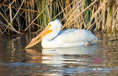 Injured Pelican (B.Heacker) Tags: lake texas injury pelican waterfowl injured pflugerville pflugervillelake march2014