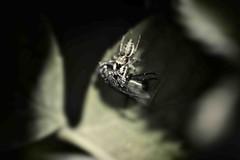 Natura selvaggia (quando il piccolo batte il grande) (Paolo Perco Thank you all for + 1.500.000 visits!!) Tags: light sun blur macro green nature colors closeup casa sony blurred natura suggestions sole colori luce botanica nationalgeographic insetti friuli sfocato contrasti friuliveneziagiulia avventura friul tranquillità greatphotographers selvaggio afotando awesomeblossoms beautifulmonsters naturaperfetta sonysti sonya77 imagestilllife chiarosccuro potd:country=it