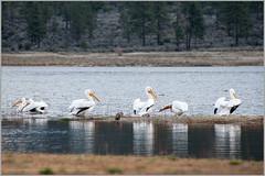 pelicans1 (tesseract33) Tags: world california travel light lake colour art pelicans nature birds nikon desert nikondigital waterbirds palmdesert nikond300 tesseract33 peterlangphotography