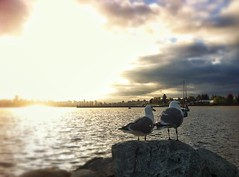 116/365 Birds of a Feather (trishp97) Tags: ocean seagulls birds vancouver sunrise iphoneography