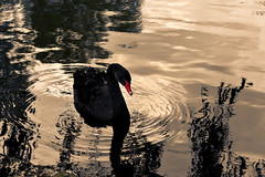 Black swan 2 (cosovan.vadim) Tags: lake black bird nature water reflections swan nikon waves outdoor sigma d750 70300mm