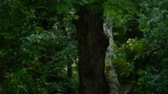 Same shot 5/18/2016 (VerlynC) Tags: tree falling hickory