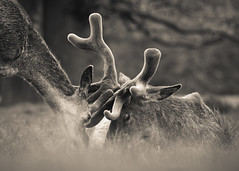 'Eyes Full of Love' (Jonathan Casey) Tags: park nottingham red love deer f2 vr wollaton 200mm d810