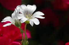 weiss - white (Knarfs1) Tags: white flower nature fleur garden outdoor jardin blume makro pure blte garten marcro