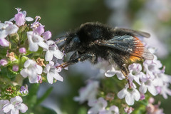 la butineuse en quilibre (daumy) Tags: fleur jardin bee miel vol printemps abeille insecte aile butine nikonflickraward