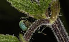 Green nettle weevil backside (Nick.Ramsey) Tags: blue macro animal insect beetle weevil bbbt nickramsey canonef100mmf28lmacro blueweevil eos7dmarkii megaproctusexclamationis