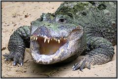 Cheeeeeese ..... (Rolf Brecher) Tags: animal aligator maul tier zhne lcheln reptil krokodil