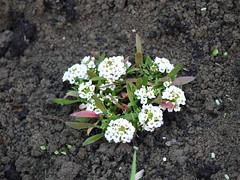 Garden: Alyssum (anachrocomputer) Tags: flowers garden 45mm alyssum dmcg2