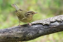 Worm-eating Warbler (Photosequence) Tags: spring bokeh warbler songbird passeriformes woodwarbler