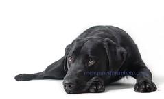 Waiting Patiently (Chris Willis 10) Tags: dog black lab labrador rest eb