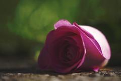 Dark rose (Mrs_Hadfield) Tags: light shadow flower macro art rose nikon dof bokeh sigma 105mm d600