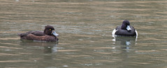 Tufted Ducks-2972 (WendyCoops224) Tags: canon eos ducks tufted forestofdean 70d 100400mml april2016 wendycooper