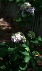 IMG_8693.CR2 (jalexartis) Tags: flowers flower spring bloom hydrangea blooms shrub shrubbery pinkhydrangea