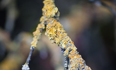 Lichen the Branch (Orbmiser) Tags: oregon portland spring nikon branch lichen willametteriver eastbank d90 55200vr