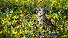 Fieldfare, April 21, 2016 (Ulf Bodin) Tags: bird nature garden se spring sweden stockholm outdoor sverige scilla turduspilaris djurgrden vr fieldfare fgel bjrktrast vrlk stockholmsln canoneosm3 canonefm55200mmf4563isstm