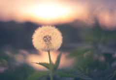 visit me at a lake in the mountains (StadtKind - capture the Bokeh) Tags: sunset lake mountains flores flower fleur germany bavaria petals europe dof bokeh sony depthoffield pentacon f18 a7 pusteblume pentacon5018 inspiredbylove smoothbokeh stadtkind bokehlicious creamybokeh sonya7 sonyilce7