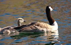 Goose amd Gosling (Karen McQuilkin) Tags: birds swim pond canadian gooseandgosling karenmcquilkin