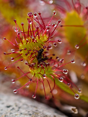 Long or Oblong Leaved Sundew (Highlandscape) Tags: plant nature scotland flora outdoor olympus glen highland insectivorous markii em5 longleavedsundew cannich oblongleavedsundew strathfarrar glenstrathfarrar struy httphighlandscapezenfoliocom olympusem5markii